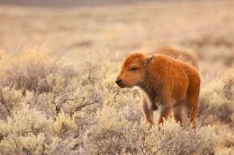 American Bison  calf (Bison bison)
