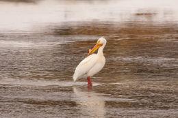American Pelican  (Pelecanus erythrorhynchos)