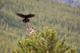 Raven and Red-tailed Hawk