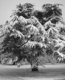 048 Season's Greetings! Thick snow covers the cedar tree at Trinity College, Oxford