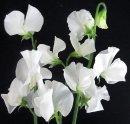 F040a White Sweet Peas