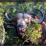 Addo Buffalo