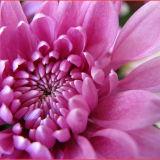 Crysanthemum close up
