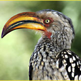 Yellowbilled Hornbill 2