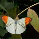Butterfly Orange/white