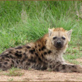 Hyena KNP