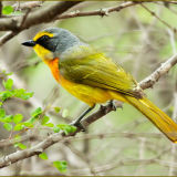 Orange breasted bush shrike