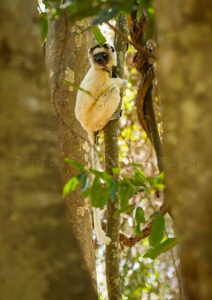 Deep In The Forest - Verreaux's Sifaka (Propithecus verreauxi)