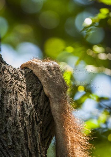 Hanging On - Bornean Orangutan (Pongo pygmaeus)