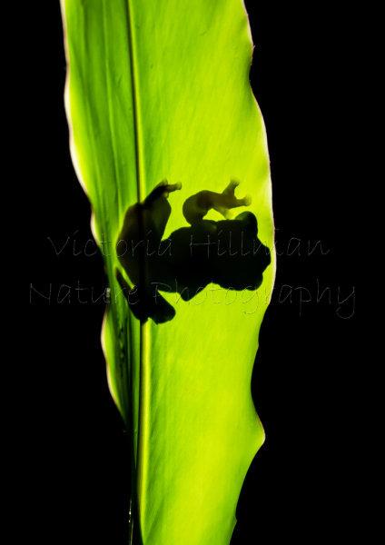 Frog Silhouette - Dark-eared Tree Frog (Polypedates macrotis) Borneo