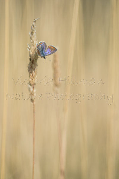 A Splash Of Blue - Female Common blue butterfly (Polyommatus icarus) in the field of grass