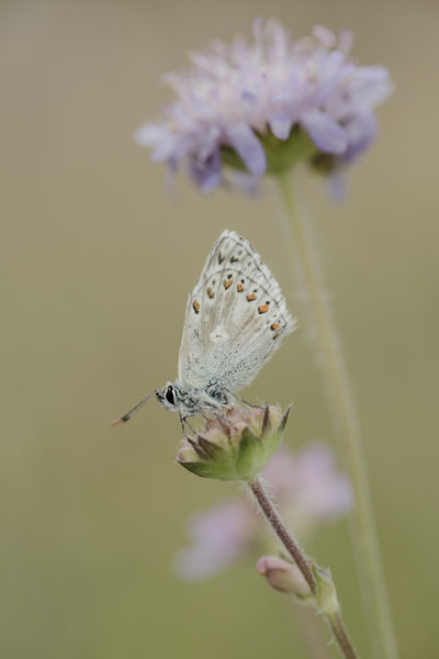 Aberration - Chalkhill blue butterfly (Polyommatus coridon) aberration
