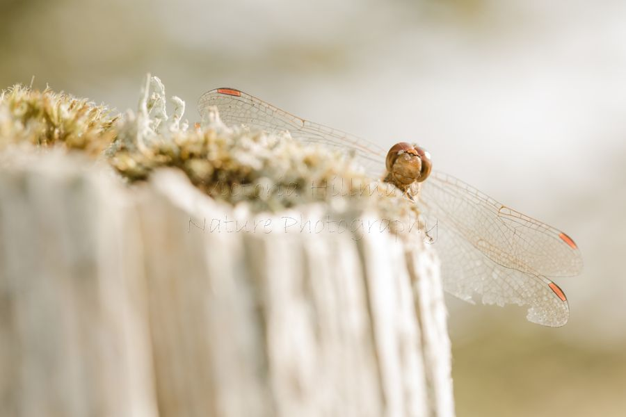 Adorably cute and very friendly common darter dragonfly (Sympetrum striolatum)