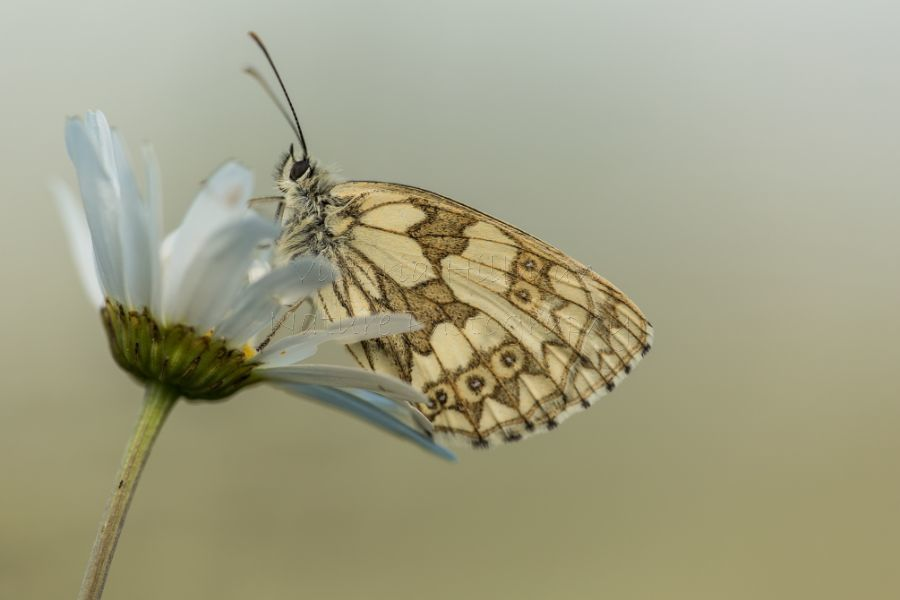 Daisy Butterfly - Marbled White Butterfly (Melanargia galathea) settling down to roost for the night on an ox-eye daisy