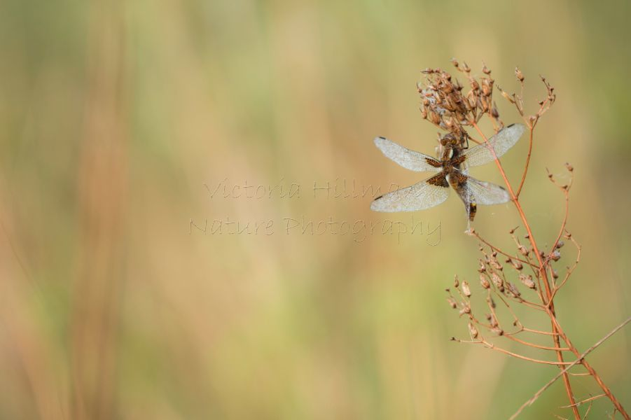 Drying Out and Warming Up - Broad bodied chaser (Libellula depressa)
