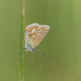 Fresh - common blue butterfly (Polyommatus icarus)