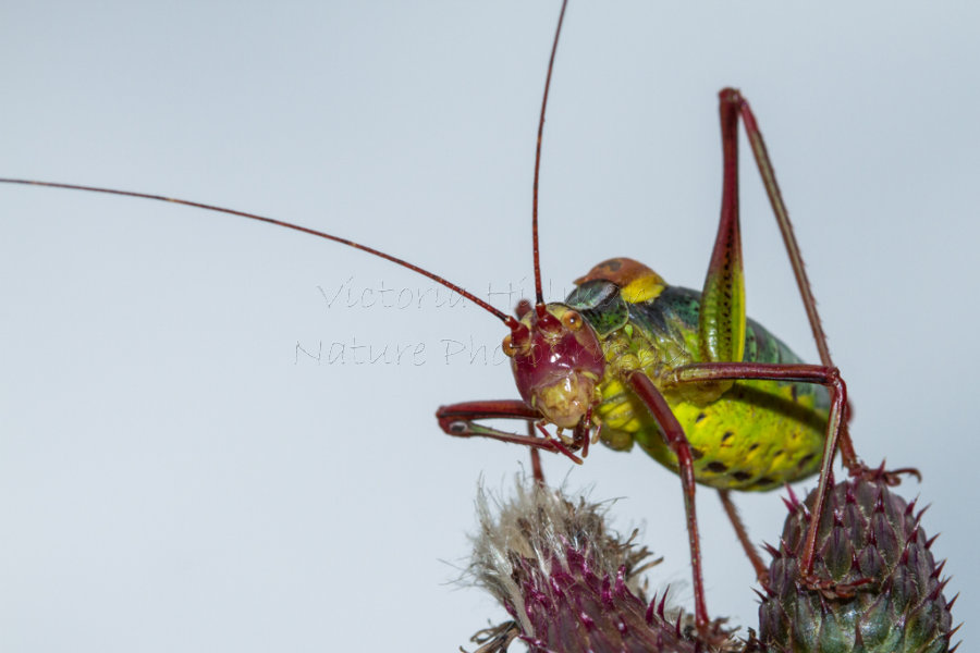 Googly Eyes - Eastern Saw Tailed Bush Cricket (Barbitistes constrictus) in the meadows of Transylvania, Romania