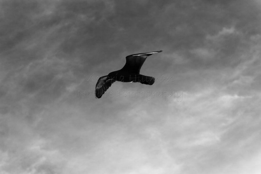 Herring Gull Silhoutte