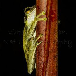 Hiding - Dark-eared Tree Frog (Polypedates macrotis), Borneo