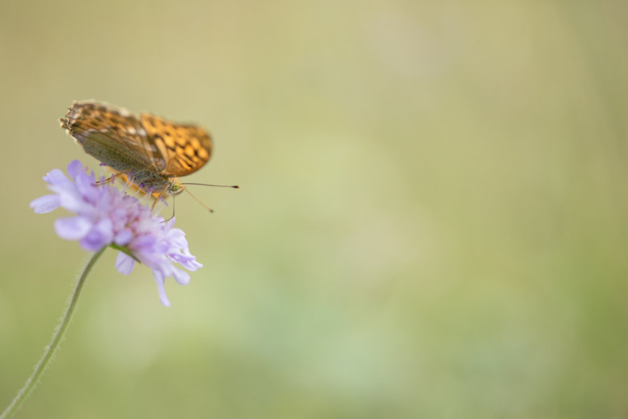 Look Into My Eye - Female silver-washed fritillary butterfly (Argynnis paphia) feeding on a Scabiosa flower
