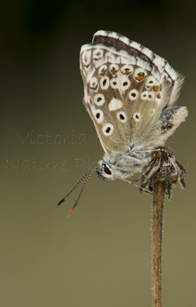 Brown is Beautiful  - Male Chalkhill blue butterfly (Polyommatus coridon) in the early morning sun