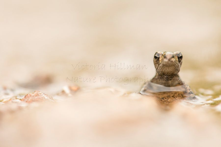 Puddle Toadlet
