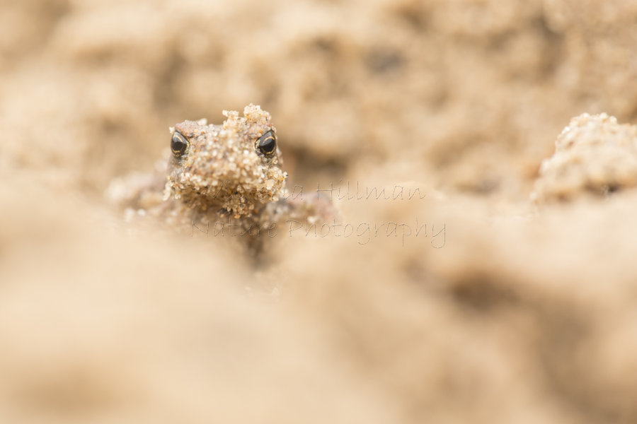 Sand Monster - Common Toad (Bufo bufo)