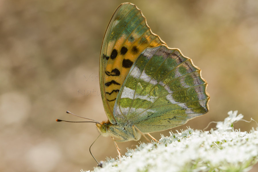 Shining Bright - Silver-washed fritillary (Argynnis paphia) in the Eastern Carpathian Mountains