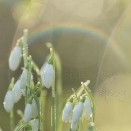 Snowdrops and Rainbows