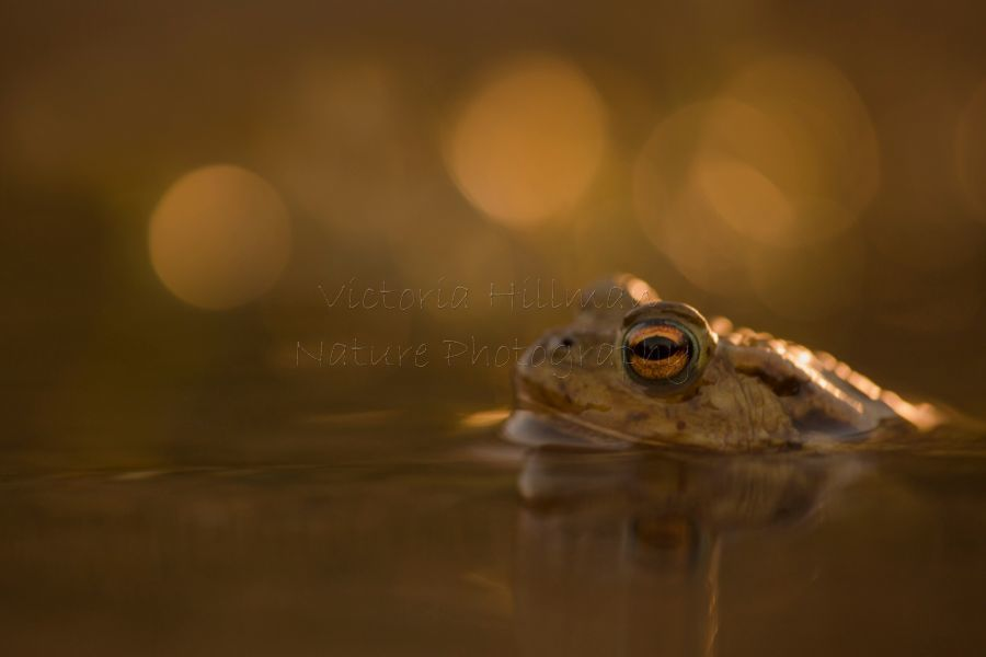 Sunset Toad