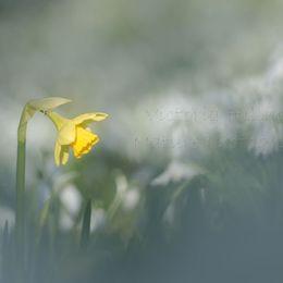 The Daffodil In The Snowdrops