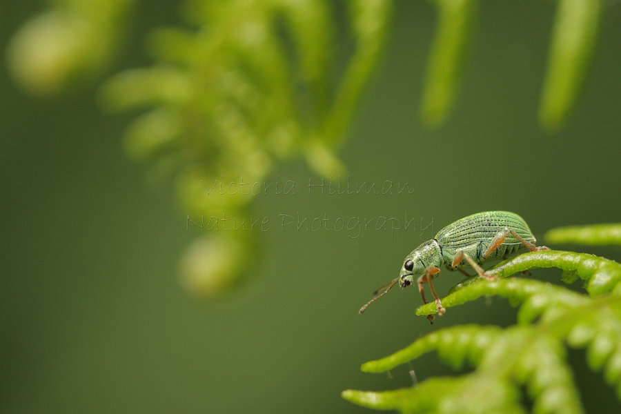 The Weevil and The Fern