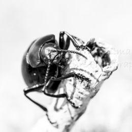 Spring Beetle