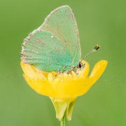 Butterfly in a Buttercup