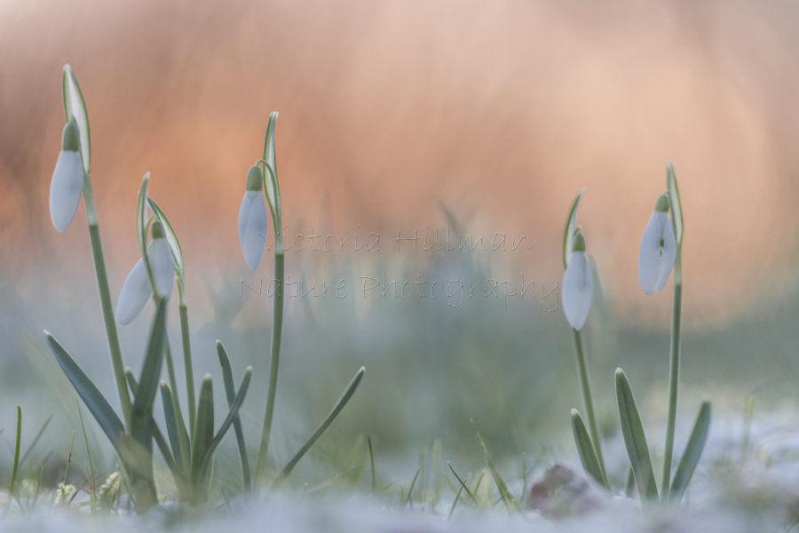 Winter Sunrise Snowdrops
