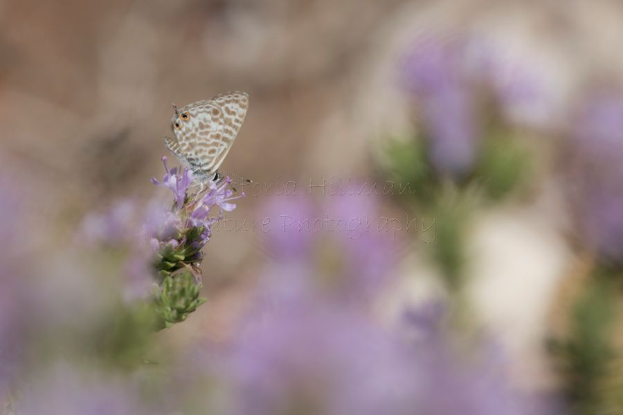 Lilac Dreams - Long Tailed Blue Butterfly (Lampides boeticus)