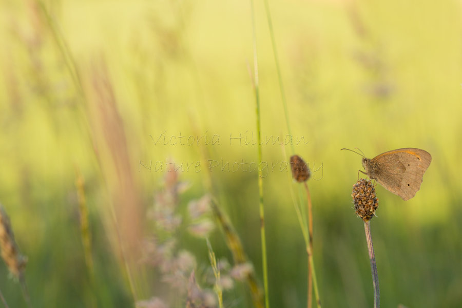 In The Meadow - Meadow Brown butterfly (Maniola jurtina) in a meadow bathed in late evening sun
