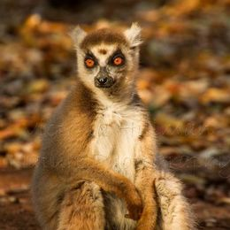 Fire Eyes - Ring-Tailed Lemur (Lemur catta)