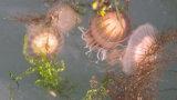 Jellyfish at the Marina