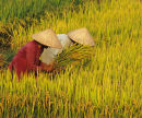 Rice Pickers, Vietnam