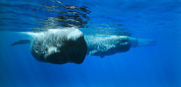 Four Sperm Whales in a line, Trincomalee, Sri Lanka
