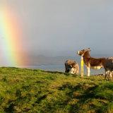 77. Rainbow & Donkeys, Sheep's Head