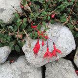 51. Creeping Fuchsia & Lichen