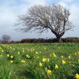 49. Daffodils, Kilcrohane