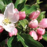 50. Apple blossom