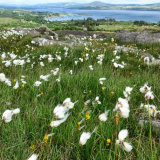 Ceannbhán, Bog Cotton, West Cork, ireland