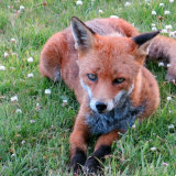 67. Ferdia the Fox