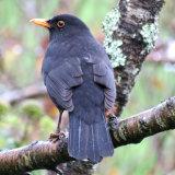 69. Lon Dubh, Blackbird