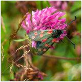 81. Six Spot Burnet Moth