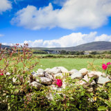 Wild roses; West Cork; Ireland